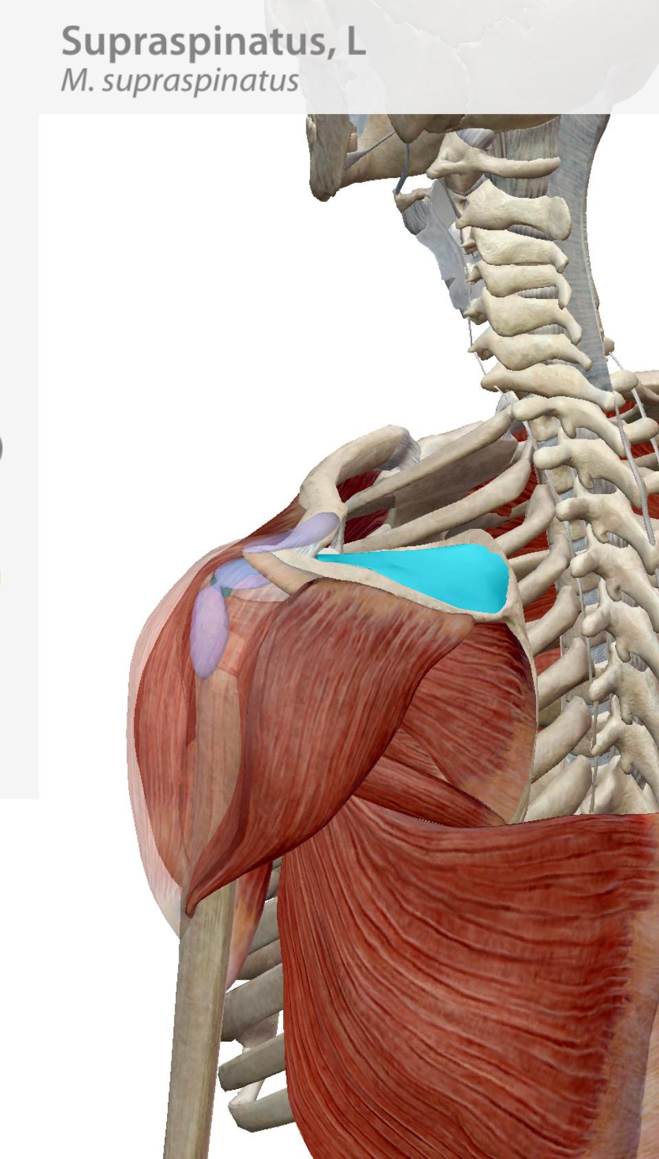 Supraspinatus Impingement And Shoulder Pain Locomotion